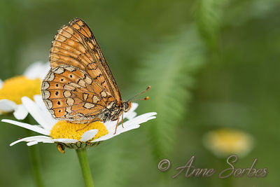 Butterflies (Lepidoptera) photos
