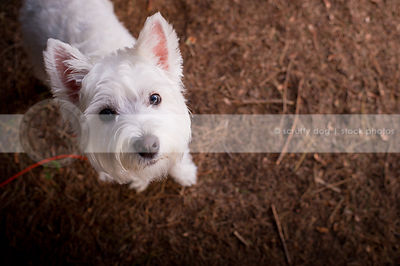 cute small groomed white dog staring up from pine needles