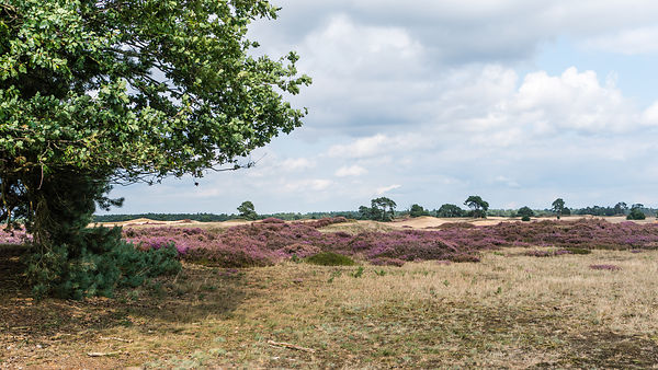 Flowering Heather in the Hoge Veluwe landscape