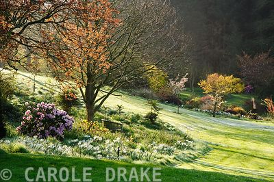 Sunlight stretches across the frosty lawn illuminating trees, shrubs and Narcissus 'Thalia'. Forest Lodge, Pen Selwood, Somerset, UK