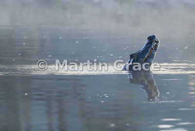Water dances over the submerged back of a male Yacaré (Jacaré) Caiman (Caiman yacare) performing its water dance territorial display, River Cuiabá, North Pantanal, Mato Grosso, Brazil