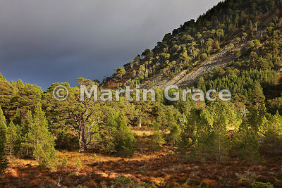 Caledonian Pine Forest (Pinus sylvestris var scotica), sunlit under a threatening sky, Pass of Ryvoan, Glenmore, Scottish Highlands