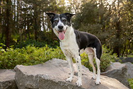 Senior Border Collie Dog Standing on a Rock in Woods