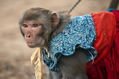 Performing Rhesus monkey in Pushkar, Rajasthan, India