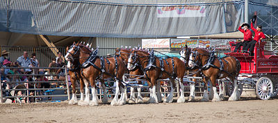 SACRAMENTO, CA, 20 JULY 2013: Clydesdales in the Cavalcade of Horses on the second Saturday of the California State Fair