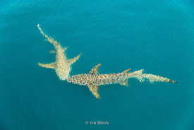 Tawny nurse sharks swim around near zodiacs in Australia's Kimberley.
