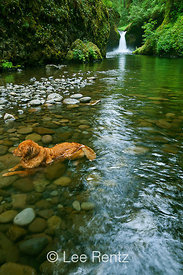 Dog Cooling off in Eagle Creek in Columbia River Gorge