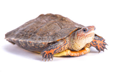 Ornate wood turtle  (Rhinoclemmys pulcherrima manni) photos