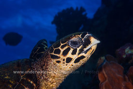 Photo tortue imbriquee- Tortue de mer-Tortue marine