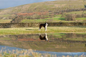 Border collie sheepdog in flooded field, reflected in water. North Yorkshire, UK