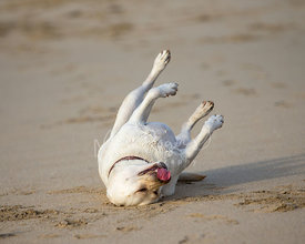 Yellow Labrador Rolling in Sand with Ball in Mouth