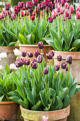 Pots of purple, red, pink and white tulips in the gardeners' yard include Tulipa 'Jackpot', T. 'Ronaldo', white T. 'Mount Tacoma' and deep purple T. 'Havran'. Rousham House, Bicester, Oxon, UK