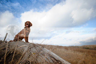 windblown longhaired red setter cross dog sitting on log under sky