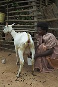 Woman milking Saanen dairy goat by hand, Mbale, Uganda Africa