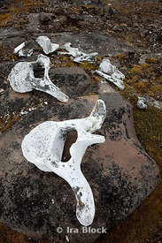 Skeletal parts of whales, walruses, polar bears, reindeer and foxes were all proof of the wildlife of southern Edgeøya in the old days. Thanks to a well settled system of hunting and trapping territories in Svalbard, the hunting was sustainable for a long time for most of the species that were hunted.