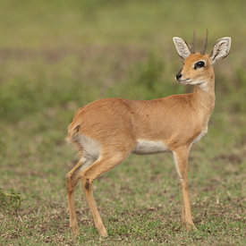 Oribi wildlife photos