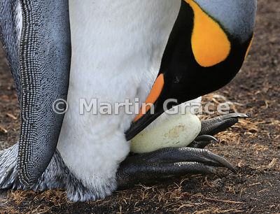 King Penguin (Aptenodytes patagonicus) incubating the single egg, Volunteer Point, East Falkland, Falkland Islands