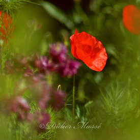 Coquelicot Ennery Val d'Oise 05/12