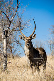 Single male bushbuck in bush veld