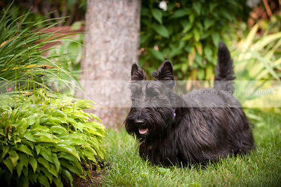 short black scottie dog walking in mowed grass in natural setting