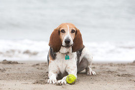 Brown and White Coonhound Lying Down on Beach