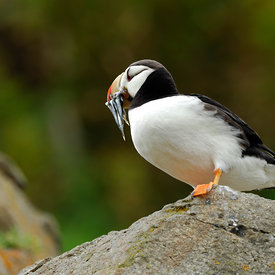 Horned Puffin wildlife photos