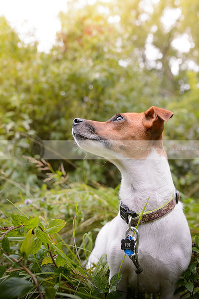 jack russell sitting in summer grasses
