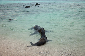 A sea lion is greeted by a friend on the shoreline of Espanola Island.