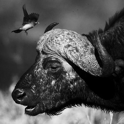 6088-Buffalo_with_a_bird_Laurent_Baheux