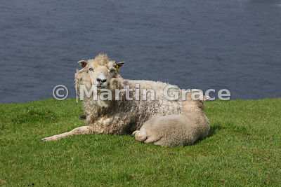 Shetland sheep with her single lamb, Hermaness NNR, Unst, Shetland