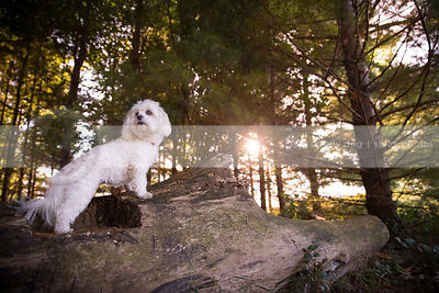 little white dog standing on log in pine tree forest with sunflare