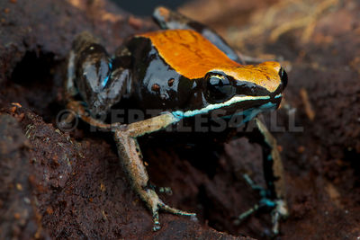 Brown mantella (Mantella betsileo) photos