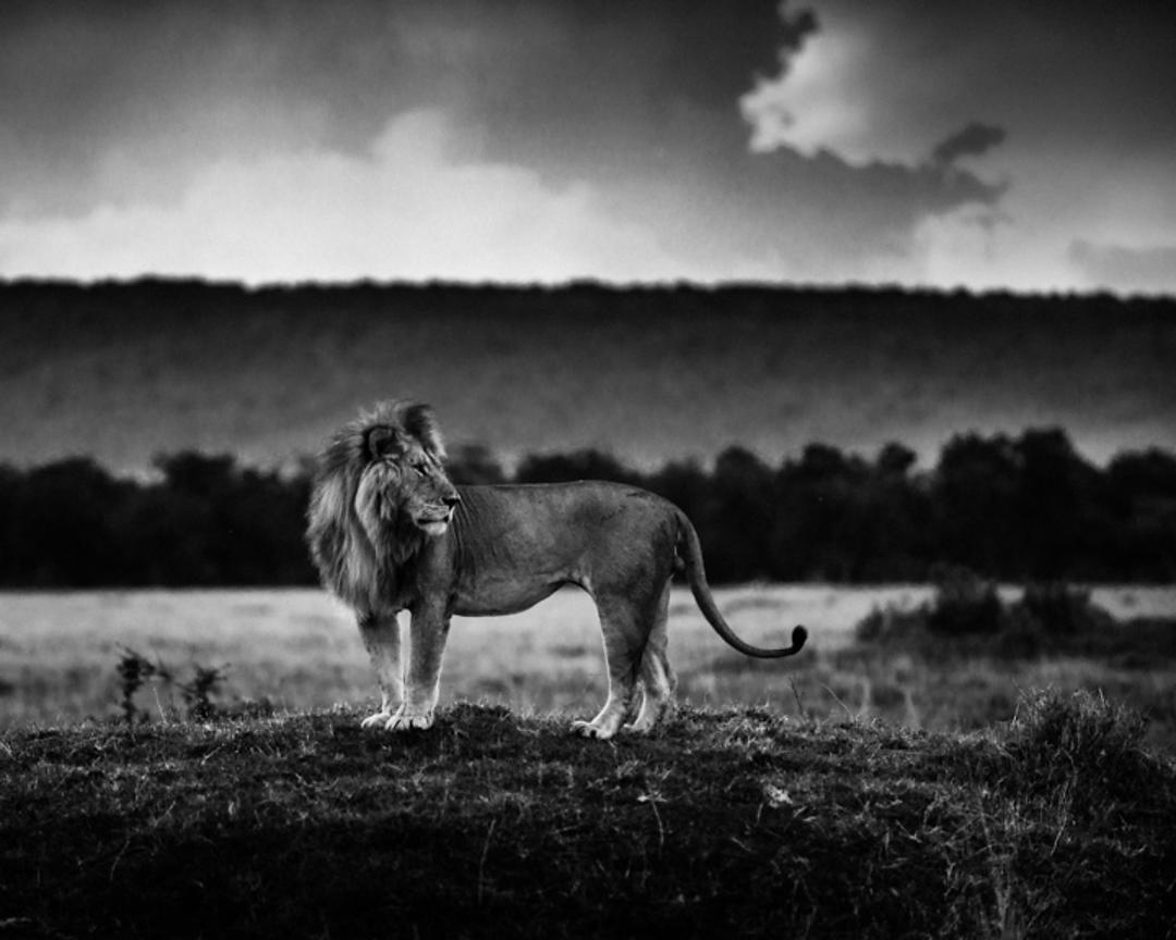 6981-Lion_alone_in_the_plain_Laurent_Baheux