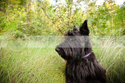 portrait of black scottish terrier dog in natural setting in summer