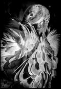 4505-Bird_Laurent_Baheux