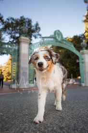 Grinning Australian Shepherd Puppy Walking on Berkeley Campus