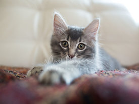 Worried Grey Kitten Reaching Out with Paw