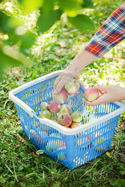Picking ripe apples in a basket
