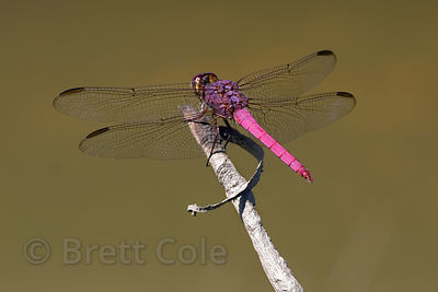 Dragonfly, Tambopata River, Peruvian Amazon