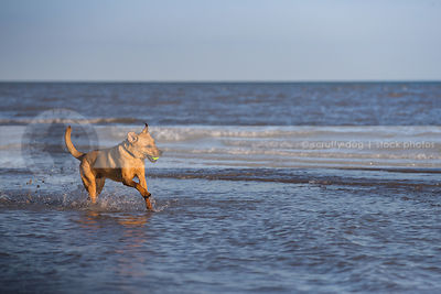 tan mixed breed dog fetching ball splashing running in lake