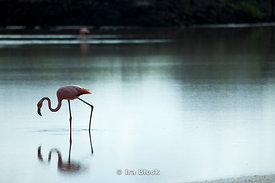 A pink flamingo takes a walk through the water off the coast of Floreana Island.