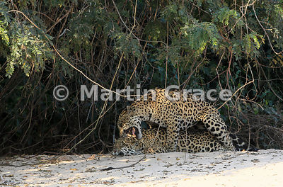Female Jaguar 'Hunter' and male 'Hero' (Panthera onca) mate, Three Brothers River, North Pantanal, Mato Grosso, Brazil. Image 12 of 62; elapsed time 10mins