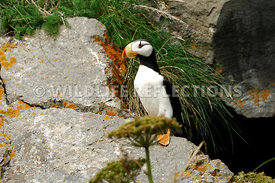 Horned Puffin Attention 4