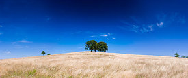 Three trees in a field