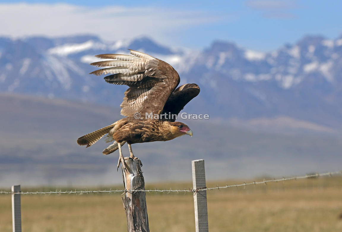 Juvenile Southern Crested Caracara (Southern Caracara, Carancho) (Caracara plancus) takes off from a fence post, Patagonia, Chile