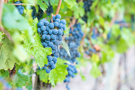 blue toned cabernet grapes growing at a vineyard in Mallorca