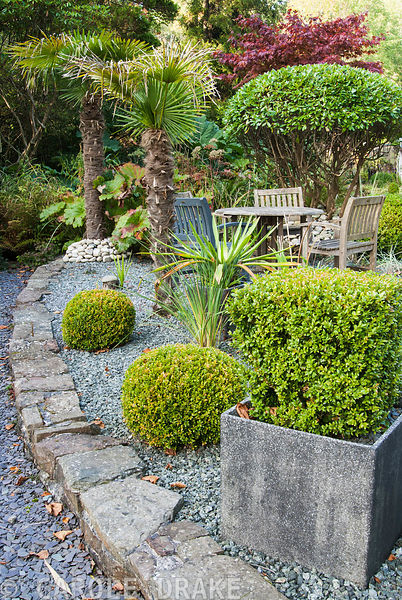 Shaped box and rhododendron  with palms and red acer around a seating area on a raised gravel terrace. The Cors, Laugharne, Camarthenshire, Wales, UK