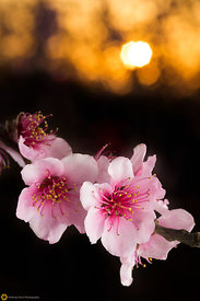 Peach Blossoms # 13