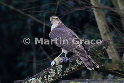 Juvenile male Eurasian Sparrowhawk (Accipiter nisus) grasping a freshly-killed Eurasian Blue Tit (Cyanistes caeruleus) in its talons, Lake District National Park, Cumbria, England