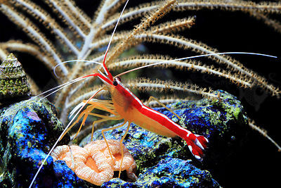 Saltwater_shrimp